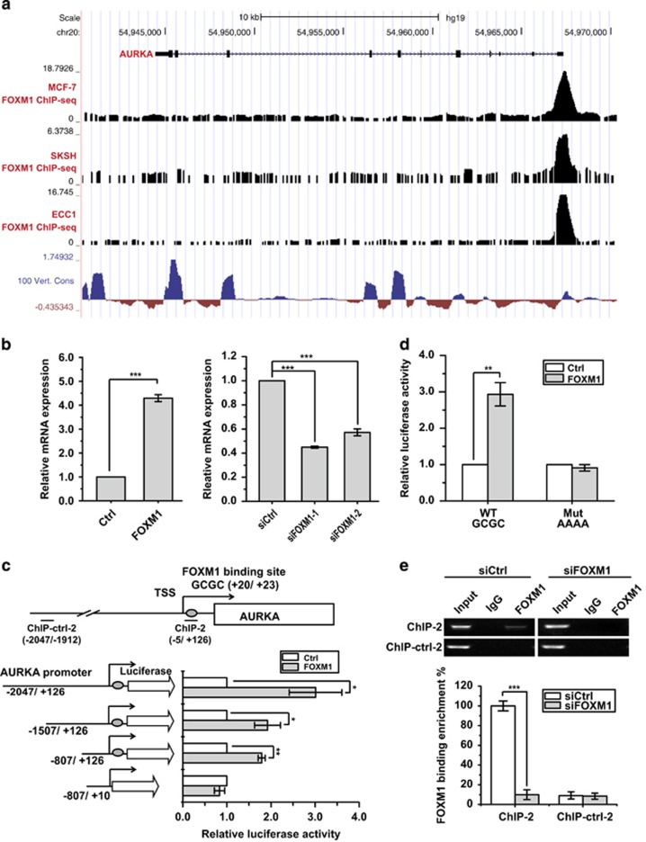 FOXM1 directly activates AURKA expression at the transcriptional level. ( a ) FOXM1 binding on AURKA promoter and gene body in MCF-7, SKSH and ECC1 cells. Data were obtained from ENCODE UCSC genome browser. 100 Vert. Cons tracks display multiple alignments of 100 vertebrate species and measurements of evolutionary conservation 49. ( b ) Real-time PCR analysis of AURKA mRNA expression in the presence or absence of FOXM1 overexpression and knockdown. ( c ) Promoter truncation assay to locate the FOXM1 regulatory region in the AURKA promoter. ( d ) Luciferase reporter assay analysis of AURKA promoter activity in MCF-7 cells with or without FOXM1 overexpression. ( e ) ChIP assay to analyse promoter occupation by FOXM1 on the AURKA promoter. The ChIP assay was performed using chromatin prepared from MCF-7 cells with or without FOXM1 depletion. The chromatin was first precipitated with the anti-FOXM1 antibody or the control (IgG) and the precipitated chromatin analysed by reverse transcriptase (RT)–quantitative PCR (qPCR) using primers recognising the FHRE region (ChIP-2) and control primers (ChIP-ctrl-2) (5C) (left panel). The precipitated chromatin was then analysed by RT–qPCR. The above promoter and ChIP RT–qPCR assays were repeated at least three times independently and results presented as mean±s.d. * P