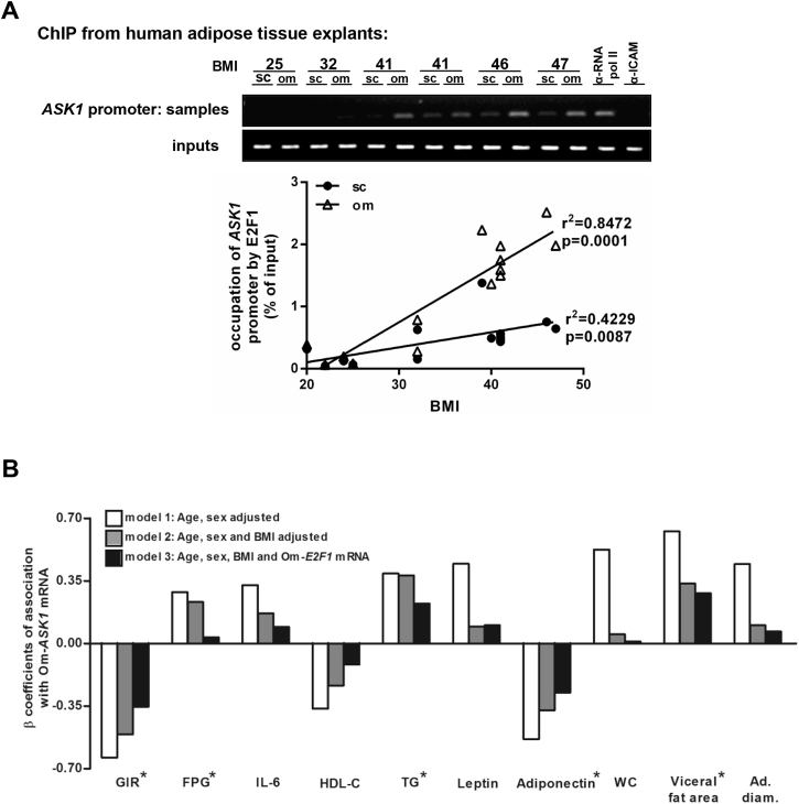 Effect of BMI on E2F1 binding to the ASK1 promoter and associations between Om- ASK1 expression levels and different clinical characteristics. (A) Formaldehyde cross-linked chromatin from 16 paired human (Om and Sc) ATs was subjected to ChIP experiments. Immunoprecipitation of E2F1 containing complexes was performed using anti-E2F1 antibody. Anti-POLR2 (polymerase RNA II), was used as positive control and anti-ICAM1 (intercellular adhesion molecule 1) was used as negative control. After isolation of bound DNA, end-point PCR and quantitative real time PCR were performed for a 300 bp region of the endogenous human ASK1 promoter. Quantitative real time PCR results were analyzed using linear regression. Inputs indicate PCR performed on DNA (diluted 1:300) without any immunoprecipitation. (B) Multi variate models to assess associations between Om- ASK1 mRNA levels and parameters shown in Figure 1 as continuous variables. Values are the β coefficient of association, with model 1 adjusted for age and sex, model 2 for age, sex, and BMI, and model 3 adjusted for age, sex, BMI, and Om- E2F1 mRNA expression. * Associations with p values