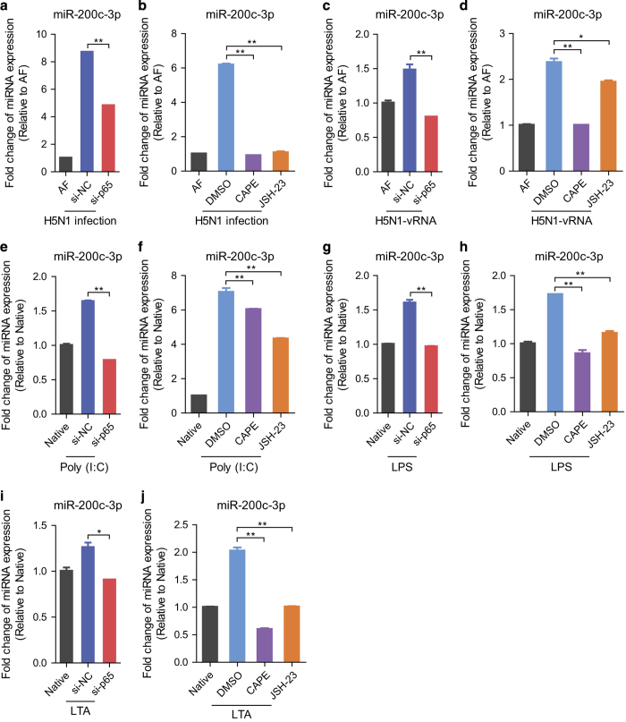 NF-κB signaling pathway mediates the upregulation of miR-200c-3p. ( a ) A549 cells were transfected with the corresponding siRNAs and then challenged with AF or H5N1 (MOI=4) for 48 h. The expression of miR-200c-3p was detected by qRT-PCR. ( b ) A549 cells were treated with CAPE or JSH-23 and then challenged with AF or H5N1 (MOI=4) for 48 h. The expression of miR-200c-3p was detected by qRT-PCR. ( c ) A549 cells were transfected with the corresponding siRNAs and then transfected with 1 μg ml −1 RNA extracted from AF- or H5N1-infected cells for 12 h. The expression of miR-200c-3p was detected by qRT-PCR. ( d ) A549 cells were treated with CAPE or JSH-23 and then transfected with 1 μg ml −1 RNA extracted from AF- or H5N1-infected cells for 12 h. The expression of miR-200c-3p was detected by qRT-PCR. ( e ) A549 cells were transfected with the corresponding siRNAs and then transfected with 1 μg ml −1 poly (I:C) for 12 h. The expression of miR-200c-3p was detected by qRT-PCR. Native, A549 cells were treated with the solvent used. ( f ) A549 cells were treated with CAPE or JSH-23 and then transfected with 1 μg ml −1 poly (I:C) for 12 h. The expression of miR-200c-3p was detected by qRT-PCR. Native, A549 cells were treated with the solvent used. ( g ) THP1 cells were transfected with the corresponding siRNAs and then treated with 1 μg ml −1 LPS for 24 h. The expression of miR-200c-3p was detected by qRT-PCR. Native, THP1 cells were treated with the solvent used. ( h ) THP1 cells were treated with CAPE or JSH-23 and then treated with 1 μg ml −1 LPS for 24 h. The expression of miR-200c-3p was detected by qRT-PCR. Native, THP1 cells were treated with the solvent used. ( i ) THP1 cells were transfected with the corresponding siRNAs and then treated with 10 μg ml −1 LTA for 24 h. The expression of miR-200c-3p was detected by qRT-PCR. Native, THP1 cells were treated with the solvent used. ( j ) THP1 cells were treated with CAPE or JSH-23 and then treated with 10 μg ml −1 LTA for 