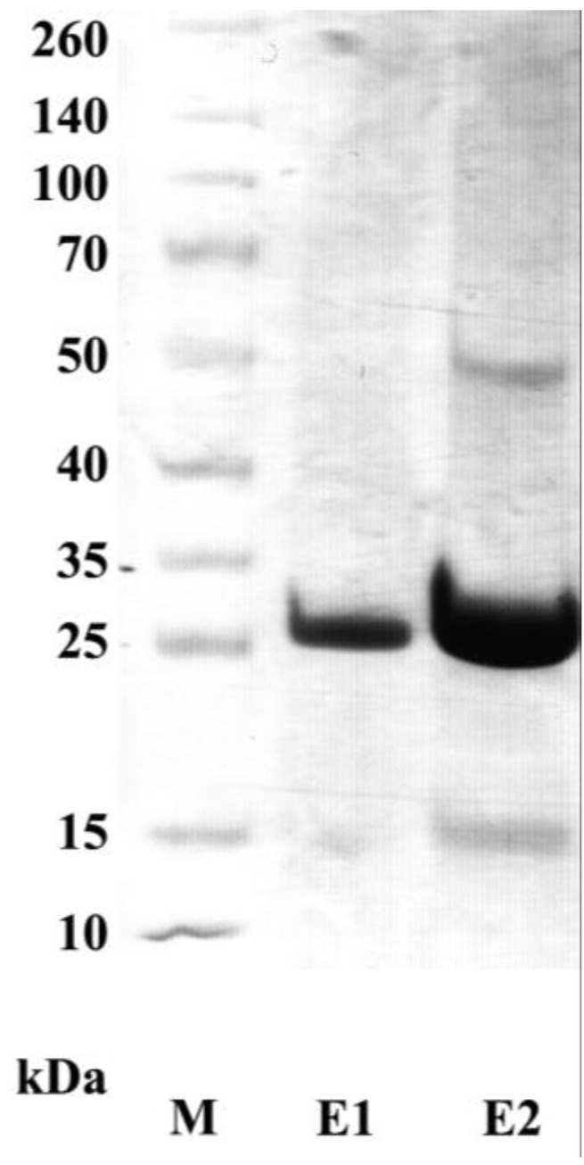 SDS-PAGE analysis of the purified recombinant adiponectin. The full-length adiponectin without LD was expressed as a 6×His fused protein in E. coli and was purified using Ni-NTA based purification. After separating in an SDS-PAGE, the gel was stained with Coomassie Brilliant Blue. E1 and E2: eluate 1 and 2, respectively; M: protein marker.