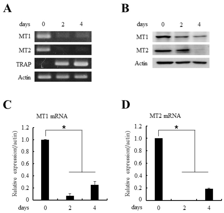 The expressions of MT1 and MT2 melatonin receptors decreased during osteoclast differentiation. ( A ) BMMs were cultured with M-CSF (30 ng/mL) and RANKL (100 ng/mL) for indicated days. After the culture, total RNAs were isolated and the expressions of MT1/MT2 mRNAs were examined by RT-PCR (reverse transcription-polymerase chain reaction) analyses. TRAP served as a marker for osteoclast differentiation; ( B ) BMMs were cultured as in panel ( A ) and whole cell lysates were prepared and MT1/MT2 protein expressions were determined by immunoblotting with anti-MT1 or anti-MT1 antibodies; ( C , D ) The mRNA expressions of MT1 and MT2 were analyzed by quantitative real-time PCR after culturing BMMs in the 30 ng/mL M-CSF and 100 ng/mL RANKL for the indicated days. All quantitative data are presented mean ± SD (* p