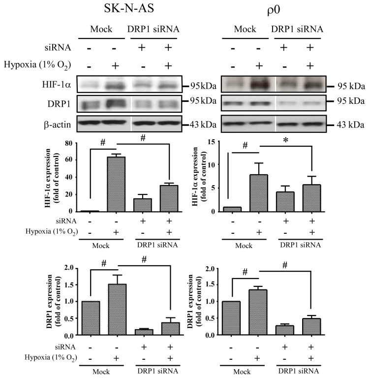 The effect of DRP1 siRNA. Cells were transiently transfected with siRNA targeted for DRP1 (DRP1 siRNA) or non-specific siRNA (Mock) for 24 h, and then incubated in normoxia or 1% O 2 for 4 h. The expression of HIF-1α, DRP1 and β-actin proteins were revealed by Western blot analysis, and the quantification analyses are shown below. β-Actin was used as a loading control. The results are shown as mean ± SD of at least three experiments. * Represented p