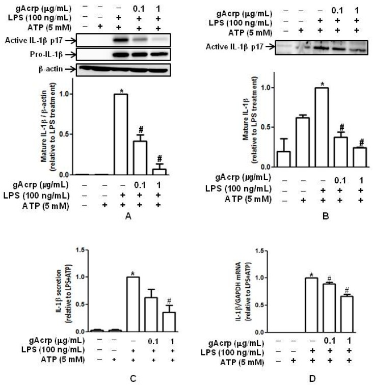 Effects of globular adiponectin on maturation and secretion of IL-1β stimulated by lipopolysaccharide (LPS) in murine peritoneal macrophages. ( A ) Macrophages were isolated from murine peritonea, pretreated with the indicated concentrations of gAcrp for 18 h, and stimulated with LPS (100 ng/mL) for 8 h and then ATP (5 mM) for 1 h. Total cellular lysates were prepared, and the levels of pro- and mature active IL-1β were determined by Western blot analysis. Representative images from three independent experiments are shown along with β-actin as an internal loading control; ( B ) after treatment with gAcrp, LPS, and ATP, as in Figure 1 A, media were collected, and the levels of mature active IL-1β were measured by Western blot analysis. Quantitative analysis of active IL-1β expression was performed by densitometric analysis and shown in the lower panel ( A , B ). Values presented are fold change compared to the cells treated with LPS and ATP and expressed as mean ± SEM ( n = 3 for A , n = 2 for B ). * p