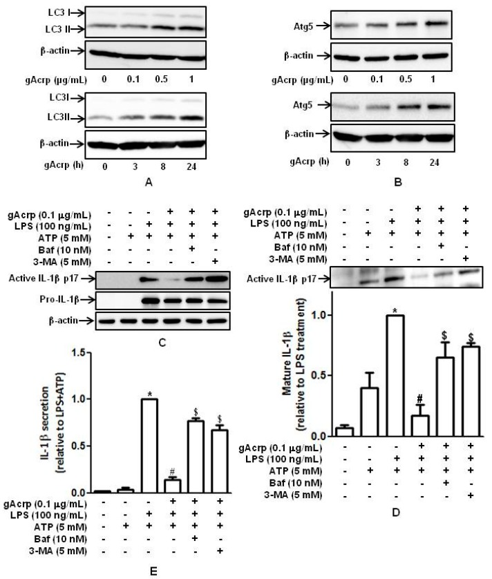 Role of autophagy induction in the suppression of IL-1β maturation and secretion by globular adiponectin in macrophages. ( A , B ) Macrophages were treated with gAcrp (0.1 μg/mL) for 18 h. ATG5 ( A ) and LC3 ( B ) expression levels were determined by Western blot analysis. Representative images from three independent experiments are shown along with β-actin as an internal loading control. ( C – E ) Cells were pretreated with gAcrp (0.1 μg/mL) for 18 h in the absence or presence of 3-MA or Bafilomycin, stimulated with LPS (100 ng/mL) for 8 h, and then treated with ATP (5 mM) for 1 h; ( C ) total cellular lysates were prepared, and the levels of pro- and mature active IL-1β were measured by Western blot analysis. Representative images from three independent experiments are shown along with β-actin as an internal loading control; ( D ) cell culture media were collected, and the levels of mature active IL-1β were measured by Western blot analysis. Quantitative analysis of active IL-1β (p17) was performed by densitometric analysis and shown in the lower panel. Values presented are fold change compared to LPS and ATP treatment and expressed as mean ± SEM ( n = 3). * p