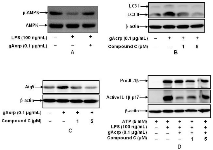 Role of 5′AMP-activated protein kinase ( AMPK ) signaling in autophagy induction and suppression of IL-1β maturation by globular adiponectin. ( A ) Peritoneal macrophages were pretreated with gAcrp (0.1 μg/mL) for 24 h, followed by stimulation with LPS (100 ng/mL) for additional 30 min. Phosphorylation of AMPK was determined by Western blot analysis. Images are representative of three independent experiments showing similar results; ( B , C ) macrophages were treated with gAcrp (0.1 μg/mL) for 24 h in the absence or presence of compound C. ATG5 ( B ) and LC3 ( C ) expression levels were assessed by Western blot analysis. Representative images from three independent experiments are shown along with β-actin as an internal loading control; ( D ) cells were pretreated with gAcrp (0.1 μg/mL) for 24 h in the absence or presence of compound C, stimulated with LPS (100 ng/mL) for 6 h, and then treated with ATP (5 mM) for 30 min. Levels of pro- and mature active forms of IL-1β were determined by Western blot analysis. Representative images from three independent experiments are shown along with β-actin as an internal loading control.