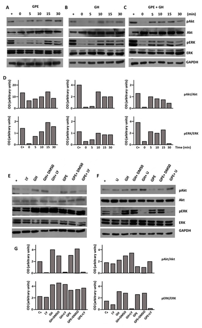 Both GPE and GH stimulate Akt and extracellular signal-regulated kinase (ERK) phosphorylation. Cells were serum-starved and treated with GPE (100 µM), GH (500 ng/mL), or GPE + GH for the indicated times. ( A – C ) Akt, phospho-Akt, ERK, phospho-ERK, and glyceraldehyde 3-phosphate dehydrogenase (GAPDH) immunoreactivities were determined by western blot; ( D ) Densitometric analysis of results presented in panels ( A , C ). Results are shown as the pAkt/Akt ( upper ) or pERK/ERK ratio ( lower ); ( E , F ) Akt and ERK phosphorylation were investigated in the presence of the specific inhibitors LY294002 (LY) and U0126 (U). C+ indicates the positive control (not serum-starved cells); ( G ) Densitometric analysis of results presented in panels A to C . Results are shown as the pAkt/Akt ( upper ) or pERK/ERK ratio ( lower ).