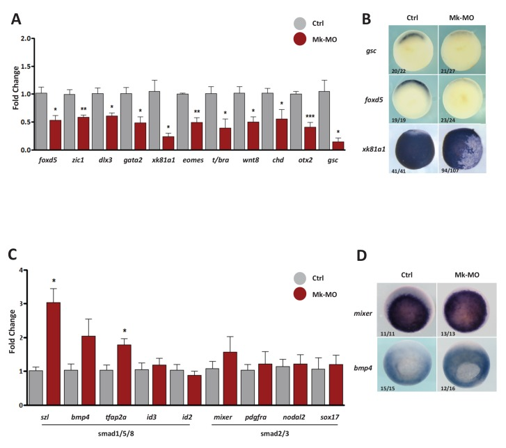 Gene expression analysis of MEK1-depleted gastrula embryos. ( A–D ) Four-cell embryos were injected in each blastomere with 25 ng Mk-MO, collected at early gastrula stage 10.5 and processed for RT-qPCR to quantify changes in the expression levels of pro-differentiation markers ( A ), or changes in the expression levels of BMPs (Smad1/5/8) and Activin/Nodal (Smad2/3) signaling targets ( C ). For all qPCR graphs, error bars represent s.e.m. values of four independent experiments with two technical duplicates. For statistical analyses, samples from injected embryos were compared with samples from uninjected control embryos by Unpaired Student's t-test. *p