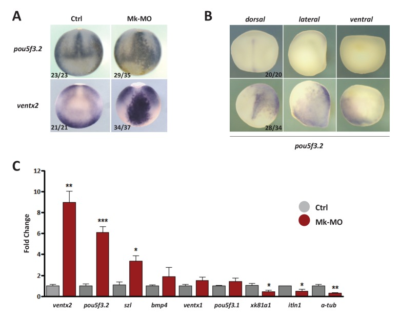 <t>MEK1</t> is required to inhibit the expression of the pluripotency genes pou5f3.2 and ventx2 . ( A ) Embryos injected with 25 ng Mk-MO at 16-cell stage in one animal dorsal blastomere were grown until late gastrulation stage 13 and processed for WISH with pou5f3.2 and ventx2 probes. ( B ) Embryos injected with 25 ng Mk-MO at 16 cell stage in one animal ventral blastomere were grown until mid-neurula stage 18 and processed for WISH with pou5f3.2 probe. ( C ) Four-cell embryos were injected in each blastomere with 25 ng Mk-MO and grown until blastula stage 9, when animal caps were isolated, cultured in vitro until late gastrula stage 13 and then processed for RT-qPCR. In A and B, the number of embryos exemplified by the photograph over the total number of embryos analyzed is indicated. DOI: http://dx.doi.org/10.7554/eLife.21526.008