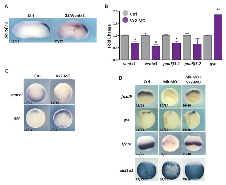 Ventx2 knockdown restores germ-layer formation in MEK1-deficient embryos. ( A ) Four-cell embryos were injected with 50 pg 2SAVentx2-Myc RNA per cell, fixed at tailbud stage 25 and processed for WISH with pou5f3.2 probe. ( B ) Four-cell embryos were injected with 30 ng Ventx2-MO (Vx2-MO) per blastomere, collected at stage 10.5 and processed for RT-qPCR. ( C ) Embryos injected as in B were processed for WISH analysis at early gastrula stage 10.5 with ventx1 and gsc probes (vegetal view). ( D ). Four-cell embryos were injected with 25 ng Mk-MO, with or without 7.5 ng Vx2-MO, in each blastomere, collected at gastrula stage 10.5, and processed for WISH with indicated probes. Note that embryos stained for xk81a1 (epidermis) were injected in one ventral animal blastomere at 16 cell stage and collected at late gastrula stage 13. Embryos stained for gsc were hemisectioned prior to staining to improve probe penetration. In A and D, the number of embryos exemplified by the photograph over the total number of embryos analyzed is indicated. For the RT-qPCR graph, error bars represent s.e.m. values of three independent experiments with two technical duplicates. For statistical analysis, samples from injected embryos were compared with samples from uninjected control embryos by Unpaired Student's t-test. *p