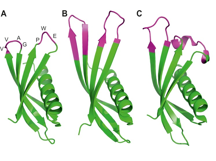 Ribbon diagrams of three crystal structures for Affimer (Adhiron) reagents. ( A ) X-ray crystal structure of Affimer scaffold (PDB ID no. 4N6T) at 1.75 A resolution. The amino acids from the loops connecting the four anti-parallel beta sheets are highlighted in pink. ( B ) Crystal structure of an Affimer against p300 (PDB ID no. 5A0O) ( C ) Crystal structure of an Affimer isolated against human SUMO proteins (PDB ID no. 5ELJ). The variable regions in B and C are shown in pink. DOI: http://dx.doi.org/10.7554/eLife.24903.003