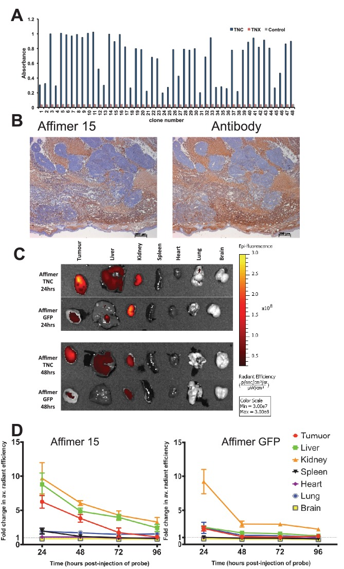 Characterisation of tenascin C (TNC) binding Affimer by affinity-histochemistry and ex vivo imaging of xenografts. ( A ) Phage ELISA for 48 monoclonal Affimers against TNC. The two controls are tenascin X (TNX) and streptavidin. ( B ) Immunohistochemistry of serial sections of a mouse xenograft (SW620 cell line), showing staining for TNC. Antibody/Affimer staining is shown as a light brown color with haemotoxylin counter staining (blue). ( C ) and ( D ) Mice were injected via their tail vein with rhodamine labelled TNC binding Affimer or a control GFP binding Affimer. After 24, 48, 72 and 96 hr the xenograft and organs were removed and visualized. ( C ) Organ images at 24 hr. ( D ) Quantification of rhodamine fluorescence (radiant efficiency in p/s/cm 2 /sr/μW/cm 2 ) ex vivo (n = 3). Mean background fluorescence intensity was normalized to sham injected control tumors and organs. DOI: http://dx.doi.org/10.7554/eLife.24903.009