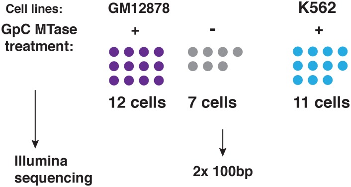 Schematic of experimental set up. A total of 19 individual cells from GM12878 were profiled in this study, 12 of these cells were exposed to GpC MTase and seven were subjected to the same process without exposure to MTase. For K562 11 cells were profiled all of which were subjected to GpC MTase treatment. DOI: http://dx.doi.org/10.7554/eLife.23203.005