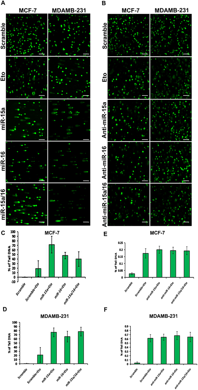 Ectopic expression of miR-15a/16 intensifies DNA damage and repair. Comet assay in MCF-7 and MDAMB-231 cells after transfection with miR-15a, miR-16, both miR-15a/16 and anti-miR-15a, anti-miR-16 and both. Etoposide was used to chemically induced DNA damage. Cells were processed for single-cell gel electrophoresis (comet assay) and miR-15a, miR-16 or both miR-15a/16 transfected cells show an increase in DNA damage as compared to cells transfected with scrambled miRNAs and anti-miRs under same damage condition. Bar indicates 150 µm ( A,B ). Cells with DNA damage that showed prominent tail (Comet) were scored using cometIV software and percentage of tail DNA was plotted ( C,D,E,F ).