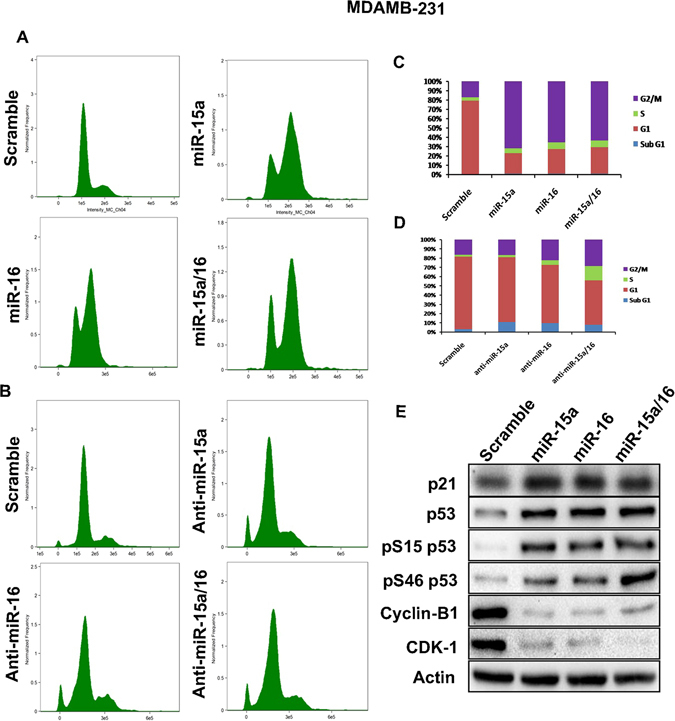 miR-15a/16 mediated of G2/M checkpoints activation. miR-15a, miR-16 and both miR-15a/16 were overexpressed in MDAMB-231 cells and cell cycle analysis was performed. Scramble miRNA vector used as a control ( A ). Anti-miR-15a, anti-miR-16 and both anti-miR-15a/16 were overexpressed in MDAMB-231 cells and cell cycle analysis was performed. Scramble miRNA vector used as a control ( B ). Graph bars represent the percentage of cells in each cell cycle phase ( C,D ). In overexpressed miR-15a, miR-16 and miR-15a/16 cells p21, p53, p53 (S46), p53 (S15), CDK1, Cyclin-B1 protein expression levels were checked. Actin served as gel loading control. Blots were cropped to enhance the representation. Scramble miRNA vector was used as transfection control ( E ).