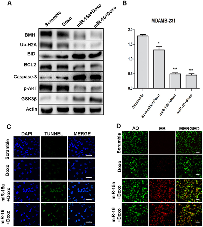 miR-15a/16 sensitizes the breast cancer cells to the chemotherapeutic drug Protein expression of BMI1, Ub-H2A, BID, BCL2, Caspase-3, p-AKT, GSK3β were checked in MDAMB-231 cells ectopically expressed with miR-15a, miR-16 or both miR-15a/16 and treated with doxorubicin. Actin served as gel loading control. Scramble miRNA vector was used as transfection control. Blots were cropped to enhance the representation ( A ). Results of MTT assay showing the effect of miR-15a, miR-16 treated with doxorubicin in MDAMB-231 cells. Scramble miRNA vector was used as control. Error bars indicate ± S.E. of n = 3 ( B ). Tunel assay showing the apoptotic cascade of miR-15a, miR-16 ectopically expressed in MDAMB-231 cells treated with doxorubicin. Scramble miRNA vector was used as control. Bar indicates 200 μm ( C ). Acridine orange/Ethidium bromide double staining represents the live (Green), early apoptotic (Yellow) and late apoptotic/dead (orange/red) cells of miR-15a, miR-16 ectopically expressed in MDAMB-231 cells treated with doxorubicin. Bar indicates 100 μm ( D ).