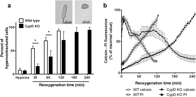 Effect of CypD deletion on hypercontracture, mPTP opening and cell death after 45 min hypoxia followed by <t>reoxygenation</t> in isolated adult mouse <t>cardiomyocytes.</t> Cardiomyocytes were isolated from wild type (WT) and CypD knock-out (KO) mice, were co-loaded with calcein, CoCl 2 and propidium iodide (PI) and were subjected to 45 min hypoxia and then reoxygenated. Images were collected every min during the first 5 min of reoxygenation and then every 5 min. ( a ) Percentage of cells exhibiting hypercontracture at the end of hypoxia and at different reoxygenation times. ( b ) Time course of mPTP opening and cell death during reoxygenation. Fluorescence was normalised to 100% of the maximal values. Traces from 3 to 5 experiments were averaged.