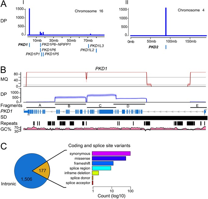 SMRT sequencing and variant calling of LR‐PCR amplicons. A: Sequencing depth (DP; in number of reads) of the alignments to chromosome 16 and chromosome 4. Number of uniquely aligned reads (y axis, blue line) sequenced with PacBio that mapped to PKD1 and PKD2 . Off‐target amplification is discriminated from the main PKD1 gene sequences showing alignments to pseudogene homologous sequences at proximal loci (e.g., PKD1P1 , PKD1P5 , PKD1P6 ) (blue boxes). B: Mapping quality (MQ; in Phred quality scores; values > 90 were scaled down for visualization purposes), and sequencing depth (DP; in number of reads) of uniquely aligned molecules to PKD1 (NM_001009944.2) for the five LR‐PCR fragments amplified. Mapping quality of alignments with even coverage distribution along the amplified fragments (fragments), including regions with SDs, repetitive elements (repeats), and high GC content (GC%). Despite fragments A and E showing lower coverage, compared with the average sequencing depth of ≥421× (minimum ≥19×; maximum 1,528×), they had sufficient coverage for variant calling within the exon regions, including the first exons of PKD1 , with average coverage of ≥55× (minimum ≥24×; maximum 91×) (Supp. Table S4). C : We detected 1,506 intron variants (blue) and 177 coding or splice‐site variants (yellow). The predicted transcript effects of coding and splice‐site variants were quantified (bar chart) as log10 count (x axis)