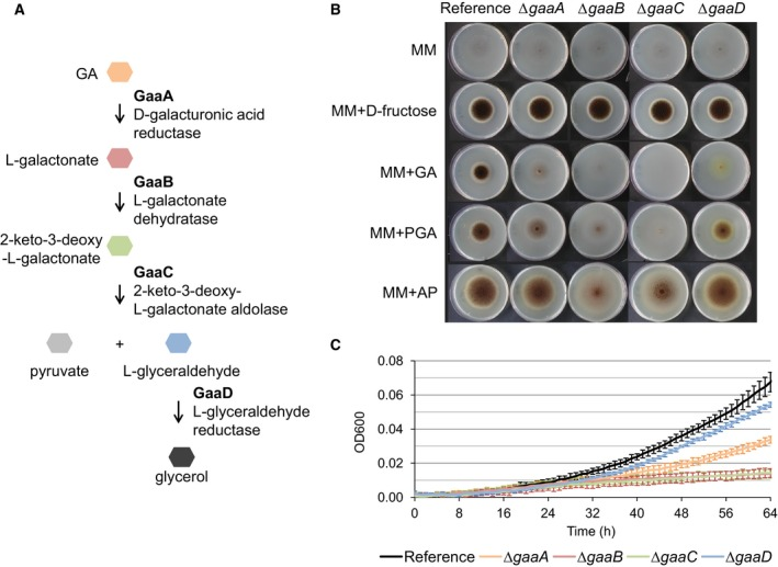 (A) The evolutionarily conserved GA catabolic pathway in filamentous fungi as proposed by Martens‐Uzunova and Schaap 5 . GA is converted in pyruvate and glycerol by consecutive action of GaaA, GaaB, GaaC, and GaaD enzymes. Growth profile of the reference strain ( MA 249.1) and GA catabolic pathway deletion mutants ∆gaaA , ∆gaaB , ∆gaaC, and ∆gaaD (B) on solid MM without any carbon source, or with 50 m m monomeric or 1% polymeric carbon sources after 7 days at 30 °C, and (C) in <t>microtiter</t> plate in liquid medium with 50 m m GA at 30 °C. Error bars represent standard deviation of six biological replicates.