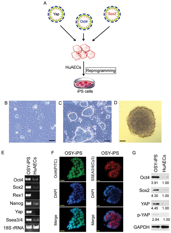 Overexpression the three factors, OSY, induced HuAECs to express high levels of ESC markers. (A) The process of induction of HuAEC reprogramming into iPS cells by OSY. (B) Cell morphology of HuAECs; scale, 30 µm. (C) OSY-iPS cells had clone-like morphology; scale, 30 µm. (D) Alkaline phosphatase staining identification of OSY-iPS cells was positive; scale, 30 µm. (E) Semi-quantitative <t>PCR</t> results indicated that OSY-iPS cells expressed high levels of ESC markers (Oct4, Sox2, Nanog, Rex1, and Ssea3/4) and Yap. (F) Immunofluorescence staining results suggested that OSY-iPS cells expressed high levels of Oct4 and SSEA3/4 proteins; scale, 30 µm. (G) Western blot results showed that OSY-iPS cells expressed high levels of Oct4, Sox2, and Yap proteins.