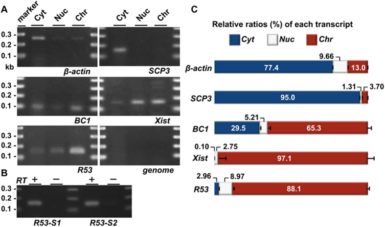 QRT-PCR analyses of the subcellular localization of the RNAs in the testicular cells. Testicular cells were prepared from the testes of mice 22 days after birth; this stage approximately corresponds to the time of the highest level of R53 expression ( Fig 5B ). (A) Gel electrophoreses of PCR products using primer pairs for SCP3 (19 cycles), BC1 (22 cycles), Xist (35 cycles), β-actin (18 cycles), R53 RNA (35 cycles, R53-S2 for the primer detecting a R53-B1F-containing sequence downstream of that of R53-S1) and genotyping of the Jmjd1C locus (genome, 35 cycles) in the cytoplasmic extract (Cyt), nuclear soluble (Nuc) and chromatin-bound (Chr) fractions are shown. The genotyping PCR (qJ1C used as the primer) to detect a sequence in the third intron of wild-type Jmjd1C gene was performed to demonstrate that there was almost no contamination of the genomic DNA in any fraction. All the primer pairs used are listed in S1 Table . (B) Reverse-transcription was performed using total RNA prepared from the chromatin-bound fraction and oligo-dT primer with (RT+) or without reverse transcriptase (RT-). As in (A), PCR was performed using 2 sets of primers for R53 RNA (35 cycles) to testify that the PCR products were derived from RT-dependent cDNA. The PCR specificity for R53 transcript was confirmed by sequencing analyses of the PCR products. (C) The amounts of each transcript in the three subcellular fractions were quantitatively analyzed. The values indicated are the relative levels of each transcript against total values of the three subcellular fractions (set as 100%). The error bars indicate the SEM (n = 6).
