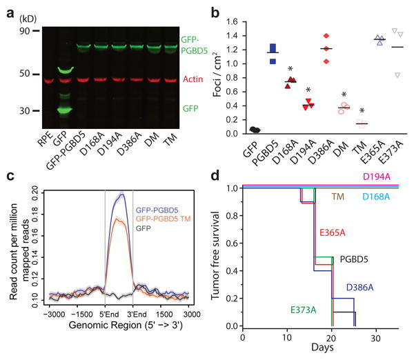 PGBD5 transposase activity is necessary to transform human cells (a) Western blot of GFP in RPE cells expressing GFP-PGBD5 , GFP-PGBD5 mutants, and GFP compared to RPE cells (DM = double mutant D194A/D386A; TM = triple mutant D168A/D194A/D386A). (b) Number of refractile foci formed in monolayer culture in RPE and BJ cells stably expressing GFP-PGBD5 or control GFP , as compared to non-transduced cells and cells expressing GFP-PGBD5 mutants (red = transposase deficient mutants, blue = transposase proficient mutants, * p = 2.1 × 10 -4 for D168A vs. GFP-PGBD5 , p = 2.7 × 10 -6 for D194A vs. GFP-PGBD5 , p = 1.8 × 10 -6 for D194A/D386A vs. GFP-PGBD5 , p = 2.4 × 10 -7 for D168A/D194A/D386A vs. GFP-PGBD5 ). Error bars represent standard deviations of 3 independent experiments. (c) Composite plot of ChIP-seq of GFP-PGBD5 (green), as compared to the GFP-PGBD5 D168A/D194A/D386A catalytic TM mutant (orange) and GFP control (purple). (d) Kaplan-Meier analysis of tumor-free survival of mice with subcutaneous xenografts of RPE cells expressing GFP-PGBD5 as compared to cells expressing GFP-PGBD5 mutants ( n = 10 per group, p