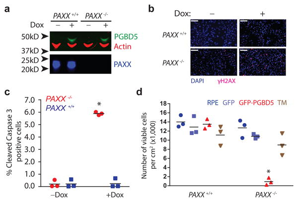 DNA end-joining repair is required for survival of cells expressing active PGBD5 (a) Western blot of PGBD5 protein after 24 h of doxycycline (500 ng/ml) treatment of isogenic PAXX +/+ and PAXX -/- RPE cells stably expressing doxycycline-inducible PGBD5 . (b) Representative photomicrograph of PAXX +/+ and PAXX -/- RPE cells after 48 h treatment with doxycycline (500 ng/ml) or vehicle control stained for DAPI (blue) and γH2AX (red). Scale bar = 100 μm. (c) Fraction of apoptotic cells as measured by cleaved caspase-3 staining and flow cytometric analysis of PAXX +/+ and PAXX -/- RPE cells after treatment with doxycycline or vehicle control. * p = 8.7 × 10 -4 for PAXX +/+ vs. PAXX -/- with doxycycline. (d) Number of viable PAXX +/+ and PAXX -/- RPE cells per cm 2 in monolayer culture as measured by Trypan blue staining after 48 h of expression of GFP-PGBD5, as compared to GFP-PGBD5 D168A/D194A/D386 mutant and GFP -expressing control cells. * p = 7.4 × 10 -5 for PAXX -/- GFP-PGBD5 vs. GFP control. Error bars represent standard deviations of 3 independent experiments.