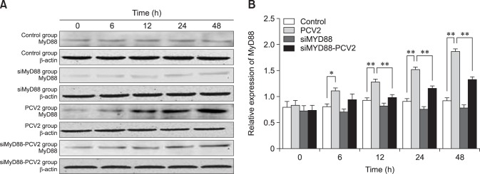 Changes in MyD88 protein expression after porcine circovirus type 2 (PCV2) infection. Western blotting was used to measure the expression of MyD88 protein in the cytoplasm at 6, 12, 24, and 48 h in control, PCV2, MyD88 siRNA, and PCV2 +MyD88 small interfering (si)RNA groups. Expression of β-actin was used as a positive control; * p