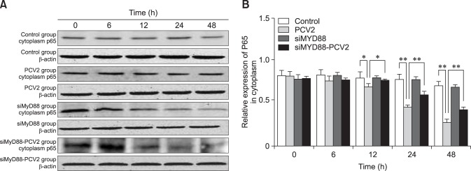 Changes in nuclear factor kappa B (NF-κB) p65 protein expression in the cytoplasm after porcine circovirus type 2 (PCV2) infection. Western blotting was used to measure cytoplasmic expression of NF-κB p65 at 6, 12, 24, and 48 h in the control, PCV2, MyD88 small interfering (si)RNA, and PCV2 + MyD88 siRNA groups. Expression of β-actin was used as a positive control; * p