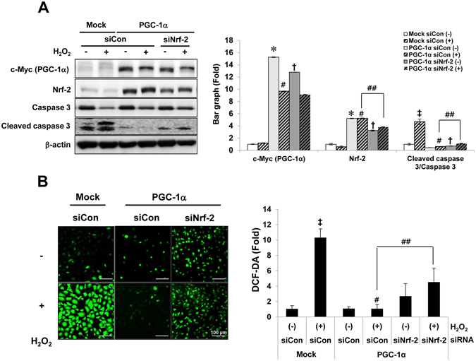 Nrf-2 specific-protective effects by PGC-1α. To prove the dependence of Nrf-2 in anti-apoptotic and anti-oxidative effect of PGC-1α, the level of activated caspase 3. Full-length blots of each tested protein are reported in Supplementary Figure S6 ( A ) and the level of DCF fluorescence ( B ) were assessed in Nrf-2 suppressed PGC-1α cells under H 2 O 2 treatment, as earlier mentioned. Magnification at x200, Bar = 100 μm. Relative protein level and ROS level were expressed as fold normalized to the untreated Mock cells. β-actin levels were analyzed as internal controls. Error bars denote the mean ± S.D. of triplicate samples. * p
