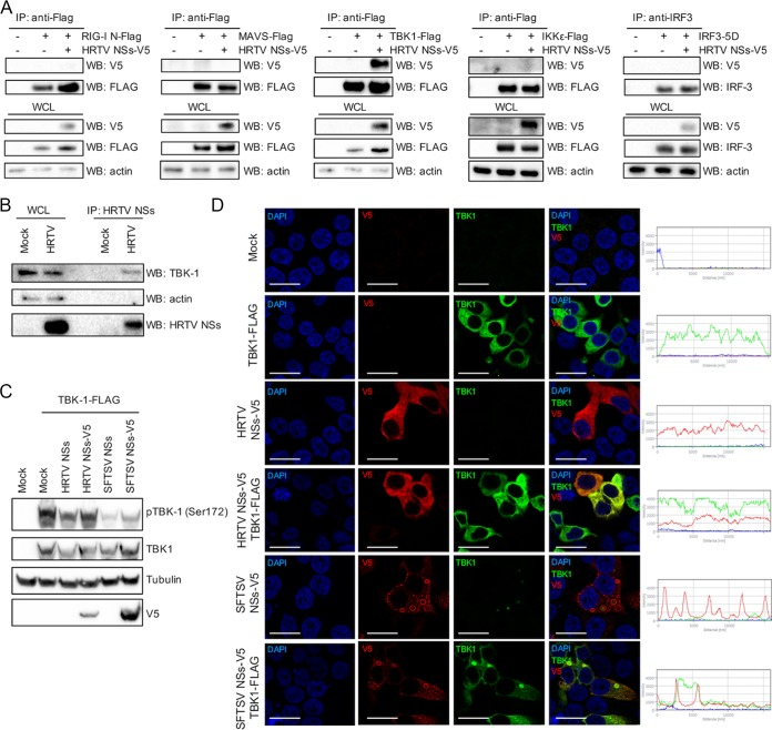 HRTV NSs interacts with TBK1. (A) HEK293T cells were cotransfected with a V5-tagged HRTV NSs-encoding plasmid along with FLAG-tagged RIG-I (N), MAVS, TBK1, or IKKε or untagged IRF3-5D-encoding plasmids. Transfected lysates were subjected to coimmunoprecipitation with beads conjugated to FLAG or IRF3 antibodies. V5-tagged HRTV NSs was detected through Western blotting with an anti-V5 antibody. (B) Immunoprecipitation of HRTV NSs in infected cells. Cell lysates of A549 cells infected with HRTV (MOI 10 FFU/cell) were subjected to immunoprecipitation with an anti-HRTV NSs antibody. Western blotting was performed on IP eluates to detect the presence of TBK1 and HRTV NSs in HRTV-infected cells. (C) HEK293T cells were cotransfected with plasmids expressing untagged or V5-tagged HRTV or SFTSV NSs and FLAG-tagged TBK1 to induce interferon induction. At 24 h posttransfection, cell lysates were harvested and utilized for Western blotting of TBK1, TBK1 phosphorylated at Ser172, tubulin, and V5 with the appropriate antibodies. WB, Western blot. (D) Indirect immunofluorescent staining of HEK293T cells transiently expressing TBK1-FLAG and V5-tagged HRTV or SFTSV NSs and probed with anti-TBK1 and anti-V5 antibodies 24 h posttransfection. Subcellular localization of NSs proteins (red), TBK1 (green), and nuclei stained with DAPI (blue) was analyzed by confocal microscopy. Intensity profile graphs are shown to the right of the image. Scale bars indicate 20 μm.