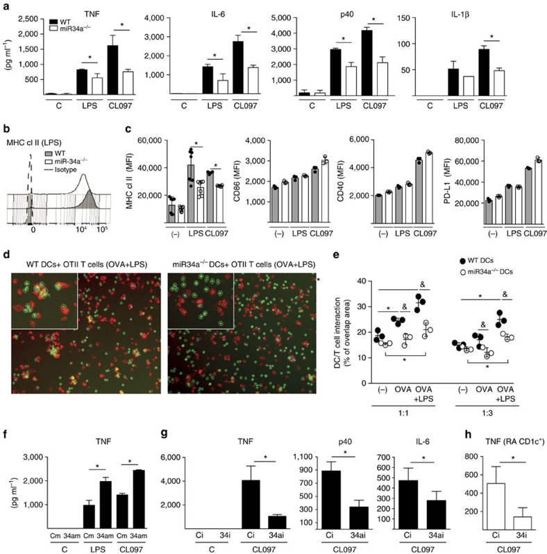 MiR-34a drives DC activation. ( a ) miR-34a −/− DCs show reduced production of pro-inflammatory cytokines. Bone marrow DCs from WT and miR-34a −/− mice ( n =6 pooled) were stimulated with LPS or CL097 for 24 h. ( b , c ) miR-34a −/− DCs show reduced expression of MHC class II. WT and miR-34a −/− DCs were stimulated as in a for 24 h and the expression of co-stimulatory molecules was evaluated as median fluorescent index (MFI) by flow cytometry. Representative MFI expression of MHC class II ( b ), and quantitative expression of MHC class II, co-stimulatory (CD40 and CD86), and inhibitory (PD-L1) molecules is shown ( c ). * P