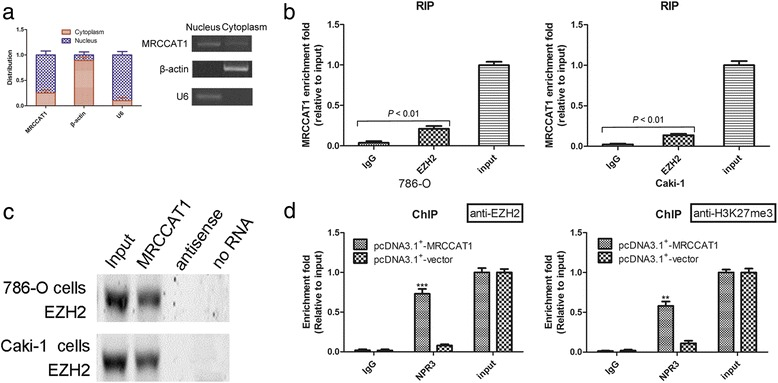 MRCCAT1 suppresses NPR3 expression by recruiting Polycomb Repressive Complex 2 to NPR3 promoter. a qRT-PCR analysis of MRCCAT1 in subcellular fraction of Caki-1 cells. U6 and β-actin acted as nucleus and cytoplasm marker, respectively. b RIP assay analysis of the enrichment of MRCCAT1 to EZH2 in 786-O and Caki-1 cells. c Biotinylated MRCCAT1 or antisense RNA were incubated with nuclear extracts of 786-O and Caki-1 cells, targeted with streptavidin beads, and washed. Then the associated proteins were resolved in a gel. Western blot analysis of the specific association of EZH2 and MRCCAT1. d ChIP assays were conducted on NPR3 promoter regions using the indicated antibodies. Enrichment was determined relative to input controls. The results are presented as the mean ± SD from three independent experiments; ** P