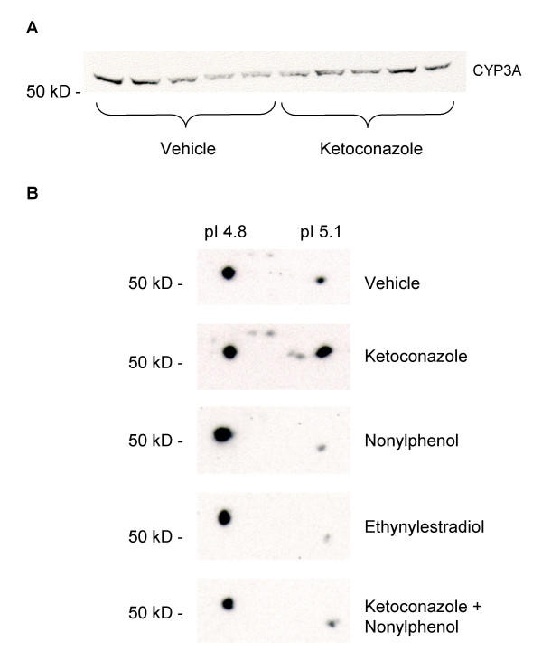 CYP3A Western blot (A) and CYP3A 2D-immunoblots (B) . A) Western blot of hepatic microsomal CYP3A proteins in juvenile Atlantic cod treated with vehicle (5 ml peanut oil/kg fish) and ketoconazole (12 mg/kg fish) detected using PAb against rainbow trout CYP3A. B) 2D-gel electrophoresis followed by immunoblotting using PAb against rainbow trout CYP3A. Each blot represent pooled liver microsomes of eight to nine fish for each treatment; vehicle (5 ml peanut oil/kg fish), ketoconazole (12 mg/kg fish), nonylphenol (25 mg/kg fish), ethynylestradiol (5 mg/kg fish), ketoconazole + nonylphenol (12 + 25 mg/kg fish).