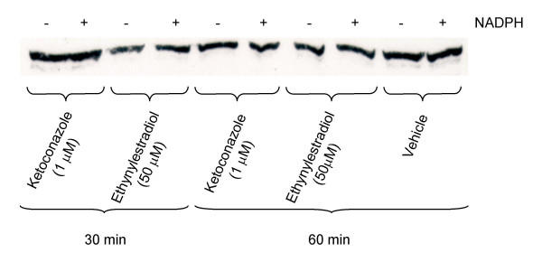 CYP3A Western blot after in vivo incubation . Western blot of CYP3A proteins in pooled liver microsomes from Atlantic cod detected using PAb against rainbow trout CYP3A. The blot illustrates representative samples after in vitro incubation with 1.0 μM ketoconazole and 50 μM ethynylestradiol for 30 or 60 min.
