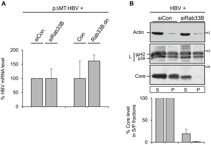 Effects of Rab33B inactivation on HBV transcription, HBV protein expression, and solubility. ( A ) For HBV gene expression profiling, HuH-7 cells were treated with control small interfering RNA (siCon) or the Rab33B-specific small interfering (siRab33B) pool and were retransfected with the pHBV∆HP replicon. In parallel, cells were cotransfected with pHBV∆HP and a GFP plasmid (Con) or the GFP-tagged Rab33B.dn mutant. For qRT-PCR, total mRNAs were isolated, reverse transcribed, and applied to PCR reactions using HBV-specific primer sets. Error bars indicate the standard deviations from the mean of two experiments measured in duplicates. ( B ) Rab33B knockdown reduces detergent-soluble and detergent-insoluble core fractions without affecting L protein levels. HuH-7 cells treated with siCon- or siRab33B-specific duplexes were retransfected with pHBV. Seventy-two h after DNA transfection, cell lysates were prepared with radioimmune precipitation (RIPA) buffer, separated into detergent-soluble (soluble (S)) and -insoluble fractions (pellet (P)), and analyzed by WB for the presence of L and core proteins and endogenous β-actin. The levels of core proteins were quantified by densitometric analysis of Western blots and were demonstrated in percent amount relative to the control cells ( n = 4, mean ± SD).