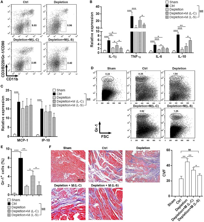 Ectopic Sestrin2 expression in M1 macrophages attenuates post-MI inflammation and favors tissue repair in hearts. (A) Macrophage abundance in infarcted myocardium at day 3 after myocardial infarction (MI) (day 4 after Clophosome ® treatment). Ctrl: un-pretreated mice. Depletion: Clophosome ® injection. Depletion + M (L-C): Clophosome ® injection followed by transfer of M1 macrophages transduced with control lentivirus. Depletion + M (L-S): Clophosome ® injection followed by transfer of M1 macrophages transduced with SESN2 lentiviral activation particles. Numbers in the plots are proportions of gated cells populations. This is a representative of two independent experiments. (B,C) mRNA abundance of indicated cytokines and chemokines in infarcted myocardium. (D,E) Percentage of Gr-1 + neutrophils in the whole cardiac cells at day 3 after MI. Representative flow <t>cytometry</t> dot plots are shown in (D) , and statistics is shown in (E) . (F) Masson staining at day 7 after MI. Left panel: representative images. Right panel: statistics of collagen volume fraction (CVF). N = 4–5 per group. * p