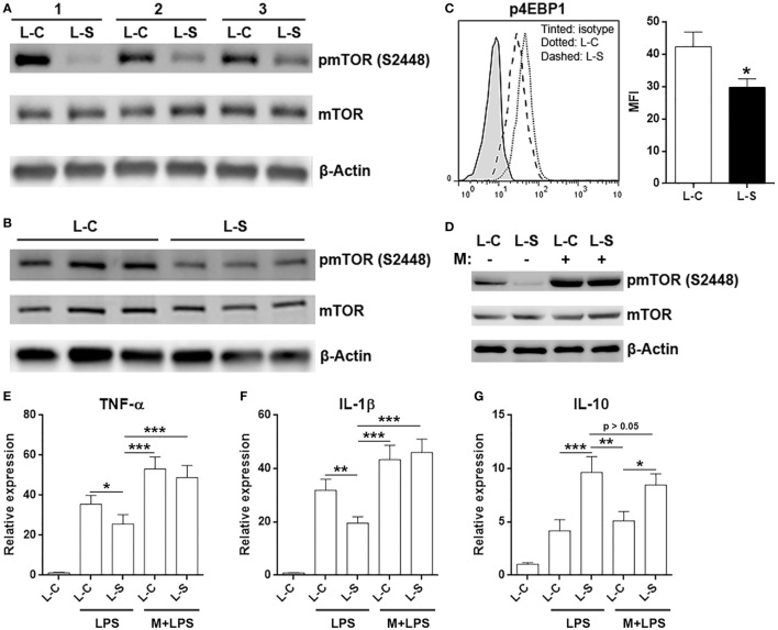 Sestrin2 inhibits mTORC1 signal pathway in M1 macrophages. (A) mTOR phosphorylation in transferred M1 macrophages. M1 macrophages were transduced with lentivirus and transferred into recipient mice as in Figure 5 . These macrophages were then sorted using flow cytometry from infarcted myocardium at day 3 after myocardial infarction (MI) for detection of mTORC1 activation status. L-C: M1 macrophages transduced with control lentivirus. L-S: M1 macrophages transduced with SESN2 lentiviral activation particles. #1 to #3 indicate three mice. (B) mTOR phosphorylation in in vitro cultured M1 macrophages after lentiviral transduction. (C) 4EBP1 phosphorylation in transferred M1 macrophages at day 3 after MI. N = 3 per group. (D) mTOR phosphorylation in in vitro cultured M1 macrophages in the presence or absence of 1-h MHY1485 treatment. L-C: M1 macrophages transduced with control lentivirus. L-S: M1 macrophages transduced with SESN2 lentiviral activation particles. This is a representative image of two independent experiments. (E–G) mRNA abundance of indicated cytokines in in vitro cultured M1 macrophages. LPS: LPS stimulation. M + LPS: MHY1485 pretreatment followed by LPS stimulation. N = 5 per group. * p