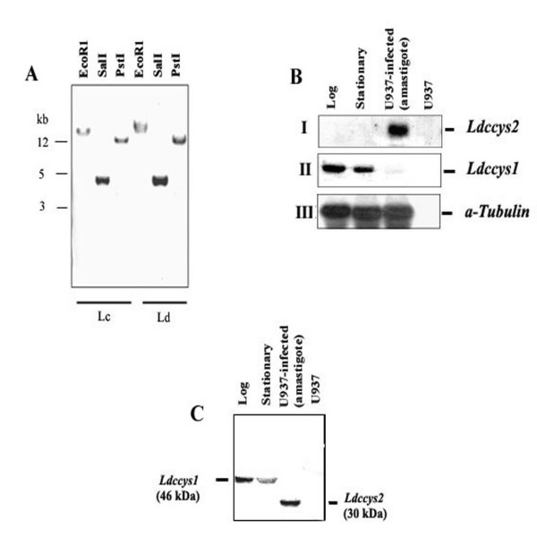 Ldccys2 is a single copy gene and is expressed only in amastigotes. (A) Southern blot hybridization of digested genomic DNA from L. (L.) chagasi (Lc) and L. (L.) donovani (Ld). 5 μg of genomic DNA was digested with restriction enzymes as mentioned in the figure and blotted onto Hybond-N membranes. The blot was probed with coding region pf Ldccys2 cDNA clone. (B) Northern blot analyses of L. (L.) chagasi total RNA. Total RNA (10 μg/lane) from promastigotes of logarithmic (lane 1), stationary (lane 2) growth phase, U937 cells (human macrophage cell line) infected with promastigotes for 96 h (lane 3) and uninfected U937 cells (lane 4) were separated on 1.2% (w/v) formaldehyde agarose gel and transferred on to Hybond N+ membrane. Blot was hybridized with PCR amplified DNA fragment containing 3'UTR from Ldccys2 (panel I), Ldccys1 (154 bp, near the polyA region, panel II), and coding region of α- tubulin from L. (L.) chagasi , a kind gift from Dr. M.E. Wilson (panel IV). (C) Western blot analysis of L. (L.) chagasi promastigotes and amastigotes. Equal amounts of proteins from promastigotes of logarithmic (lane 1), stationary (lane 2) phase, U937 cells infected with promastigotes (lane 3) and uninfected U937 cells (lane 4) were separated on 10% (w/v) SDS-PAGE and blotted on to Hybond – P membrane. Western blot analysis was carried out using α-Ldccys2 antibody.