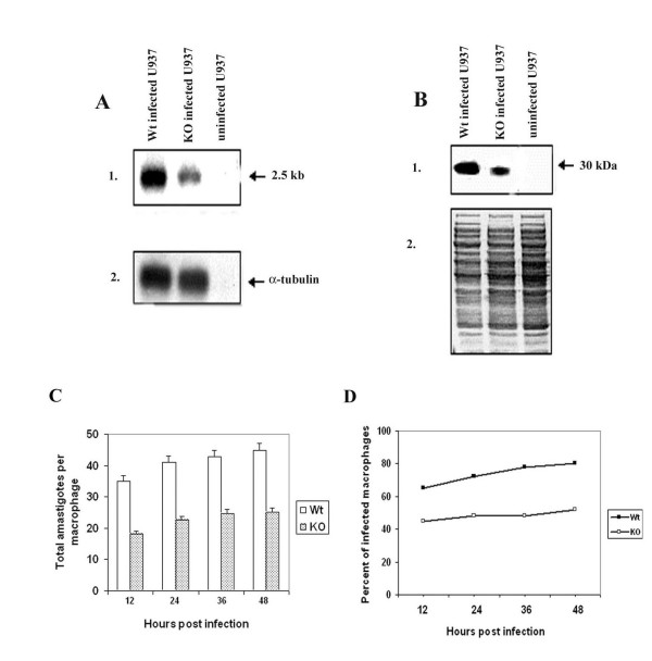 Characterization of  L. (L.) chagasi  heterozygous knockout mutant amastigotes and intra macrophage survival of  Ldccys2KO  amastigotes  in vitro .  (A) Northern blot analysis. Total RNA (10 μg/lane) from U937 cells infected with wild type promastigotes,  Ldccys2KO  and uninfected U937 cells were separated on 1.2% (w/v) formaldehyde agarose gel and transferred on to Hybond N+ membrane. Blot was hybridized with  Ldccys2  coding region DNA probe (1) and α-tubulin gene from  L. (L.) chagasi  (2). (B) Western blot analysis. Equal amount of lysates from U937 cells infected with wild type promastigotes,  Ldccys2KO  promastigotes and uninfected U937 cells were separated on 10% (w/v) SDS-PAGE, blotted on to Hybond P membrane. Panel 1 represents the membrane that was probed with α-Ldccys2 antibody and panel 2 is the duplicate gel stained with Coomassie blue. (C) Bar graph showing the number of intracellular amastigotes. U937 macrophage cells were infected at a macrophage to parasite ratio of 1:10. The survival of the amastigotes within the macrophages was evaluated every 12 hours by cytospin and Diff-Quick staining. (D) Graph showing the percent of total macrophages infected at the given time points. For each treatment, 100 infected macrophages were counted. Values represent means ± SEM from three independent experiments.