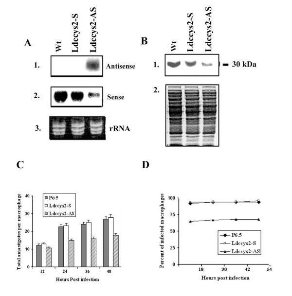 Expression of sense and antisense  Ldccys2  transcripts in  L. (L.) chagasi  and survival of wild type, sense and antisense  Ldccys2  expressing amastigotes in macrophages.  (A) Northern blot analyses of amastigotes expressing sense and antisense transcripts. Total RNA (10 μg/lane) isolated from axenic amastigotes of wildtype parasites, transfectants with P6.5/Ldccys2 sense plasmid and P6.5/Ldccys2 antisense plasmid were separated on 1.2% (w/v) formaldehyde agarose gel and blotted on to Hybond N+ membrane. Blots were probed with probes specific for antisense (panel 1) and sense (panel 2) transcripts. Panel 3 represents ethidium bromide stained gel. (B) Western blot analysis of sense and antisense Ldccys2 expressing amastigotes. Equal amounts of total protein extracted from axenically transformed amastigotes with P6.5/Ldccys2 sense plasmid and P6.5/Ldccys2 antisense plasmid and wildtype parasites were separated on 10% (w/v) SDS-PAGE and blotted on to Hybond P membrane. The blot was probed with α-Ldccys2 antibody (panel 1) and a duplicate gel was stained with Coomassie blue (panel2). (C) Bar graph showing total number of amastigotes within the macrophage cells. U937 macrophage cells were infected at a macrophage to parasite ratio of 1:10. The survival of the amstigotes within the macrophages was evaluated every 12 hours by cytospin and Diff-Quick staining.(D) Graph showing the percent of total macrophages infected at the given time points. For each treatment, 100 infected macrophages were counted. Values represent means ± SEM from three independent experiments.