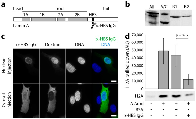 Lamin A/C histone binding site antibodies are specific, target in vivo and block H2A binding in vitro. ( a ) Schematic of lamin A domain structure highlighting the head, rod and tail domains, as well as the mapped chromatin binding site (HBS; Taniura et al., 1995). ( b ) Western blot on total HeLa cell lysates using a pan-lamin antibody and each histone-binding site antibody (A/C, B1 and B2) revealed that all antibodies prepared against the chromatin binding sites of lamins were each highly specific for each subtype. ( c ) The affinity-purified antibodies were conjugated to an SV40 NLS peptide and microinjected into either the nuclei or cytoplasm of U2OS cells. In both cases, subsequent fixation and visualization with fluorophore-conjugated secondary antibodies revealed nuclear rim staining, consistent with their binding the expected target on lamin A in the polymer underlying the inner nuclear membrane. ( d ) To test for antibody blocking of histone binding, lamin A∆rod protein was coupled to beads, incubated with either no antibodies (Lane 2), antibodies generated against BSA (Lane 3) or the lamin A histone-binding site antibodies (Lane 4). Uncoupled beads were also tested as a control for background binding to the beads because histones tend to be sticky (Lane 1). After washing, each was incubated with histones, eluted with SDS and analysed for the amount of bound histones by Western blot. Three technical replicates were quantified for fluorescence intensity using a LiCor Odyssey and plotted (n = 3). Standard deviations are shown, paired t-test shows a significant reduction in H2A bound by lamin A∆rod in the presence of the histone-binding site antibody compared to the BSA control. Scale bars, 10 µm.