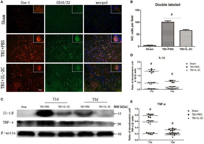 Post-injury IL-2C administration suppressed the expression of M1-associated markers around the lesion area. (A) Co-localization of CD16/32 with the microglia marker Iba1 in the contusion area on day 3 post-injury showed that treatment with IL-2C markedly reduced the amount of M1 microglia. (B) Cell count analyses indicated that IL-2C significantly reduced the number of CD16/32 and Iba-1 double-positive cells. (C–E) The traumatic brain injury (TBI)-induced expression of IL-1β and TNF-α in the ipsilateral cortices on days 1 and 3 post-injury was inhibited by treatment with IL-2C. Data are presented as the mean ± SD; * p