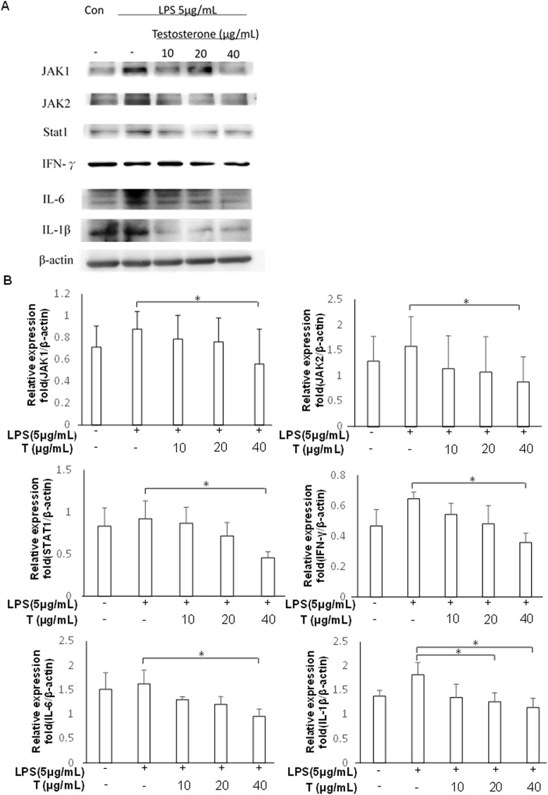 Testosterone downregulated the protein levels of JAK/STAT1 signaling pathway components in LPS-stimulated inflammation of prostate cells. PZ-HPV-7 cells were treated with different doses of testosterone (T) (10, 20, and 40 μg/mL) and stimulated with LPS (5 μg/mL) for 24 h, followed by collection of the total protein of all the treatment groups. The protein levels of JAK1, JAK2, STAT1, IFN-γ, IL-6, and IL-1β were analyzed using western blotting. All data were normalized to that of the internal reference β-actin. Results were assessed using densitometry and quantified using the ImageJ software (NIH). The results are shown as the mean ± SD from three independent experiments. * p