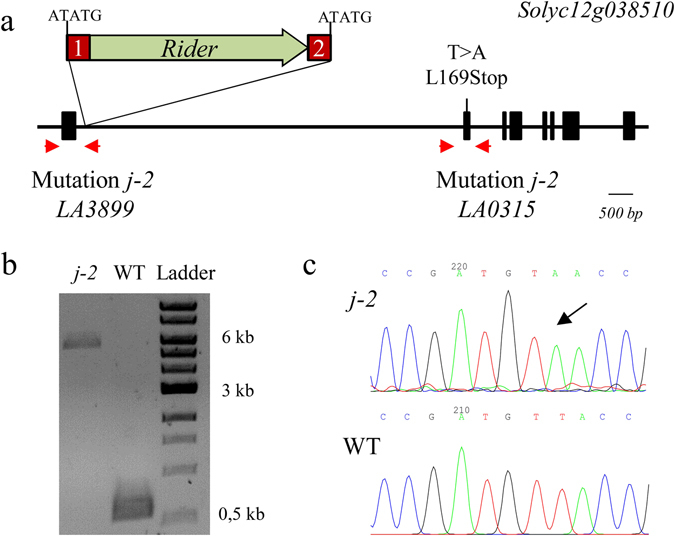 Mutations found in the j-2 mutants (LA0315 and LA3899). (a ) Insertion of a Transposable Element ( Rider ) in LA3899 and base substitution introducing a stop codon in LA0315. ( b ) Size of the fragments (5460- and 587-bp) amplified between the first exon and the first intron in j-2 (LA3899) and WT genomic DNA (compared to 1 kb DNA Ladder). The largest band was extracted and cloned in the pGEM-T Easy vector for sequencing. ( c ) Sequencing results of WT and j-2 (LA0315) PCR products amplifying the second exon of the gene.