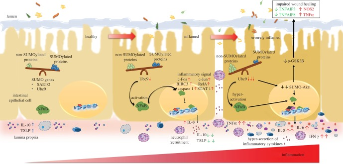 The SUMO pathway plays a crucial role in IBD: model representation of importance of SUMOylation in intestinal health and disease. Steady-state events of the healthy epithelium are represented on the left. A fine balance between SUMOylated and non-SUMOylated proteins is maintained. During the onset of disease, due to downregulation of the sole E2 SUMO conjugating enzyme Ubc9, the balance of SUMOylated and non-SUMOylated proteins is tilted as shown in the see-saw. This activates the NFκB signalling pathway via master signalling regulator Akt1. These changes results in upregulation of transcriptional factors like cFOS, cJUN, RelA, STAT1, BIRC3 (upward arrows). Release of chemokine IL-8/CXCL8 for neutrophil recruitment and lower levels of anti-inflammatory cytokine IL-10 and TSLP further aggravate the condition (severely inflamed cell on the right side). These events leads to compromised expression of wound-healing markers TNFAIP3 and TNFAIP8 (downward arrows) leading to impaired wound healing.