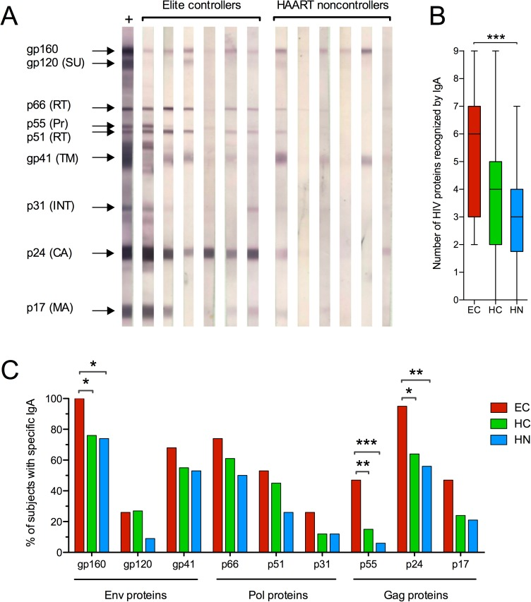 HIV proteins recognized by IgA. Western blotting was used to evaluate T1 and T2 serum IgA antibodies to HIV IIIB Env antigens (gp160, gp120 surface unit and gp41 transmembrane protein), Pol proteins (p66 and p51 reverse transcriptase subunits, p31 integrase) and Gag proteins (p55 precursor, p24 capsid and p17 matrix). (A) Representative reactivity to HIV proteins by IgA in 6 different EC and HN subjects. The 9 HIV proteins on the strips are designated on the left using an HIV IgG positive control serum. (B) The number of HIV antigens bound by IgA at both T1 and T2 was compared using the Mann-Whitney test and is depicted in a Tukey box plot. (C) The percentage of subjects positive for IgA antibodies to each HIV protein at T1 and T2 was compared using Fisher's exact test. *p
