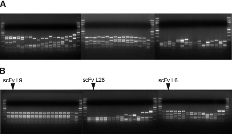 Fingerprint analysis of the selected scFvs. RT–PCR fragments derived from genomic viral RNA representing the scFv fragment coding sequences before ( A ) and after three rounds of selection ( B ) were cloned into bacteria. Colony-PCR fragments from 50 randomly picked bacterial clones were restricted with BstNI, respectively. Similar restriction patterns were grouped and the patterns of the most prominent clones L9, L28 and L6 are indicated.