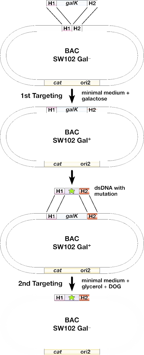 Overview of the galK selection scheme. The result of the first targeting event is the insertion of constitutively active galK into a defined position on the BAC by selection on minimal medium containing galactose and chloramphenicol to select for the maintenance of the BAC. The bacteria are now phenotypically Gal + . Next, the galK cassette is replaced by a dsDNA oligo, a PCR product, or a cloned dsDNA fragment carrying a desired mutation (indicated by a star) and flanked by the same homology arms used in the first selection step. This is achieved by negative selection using minimal medium containing 2-deoxy-galactose (DOG) with glycerol as the sole carbon source. The bacteria become phenotypically Gal − . H1 and H2, homology arms 1 and 2, respectively; cat , chloramphenicol acetyl transferase gene; ori2, BAC origin of replication; galK , E.coli galactokinase gene driven by a minimal promoter.