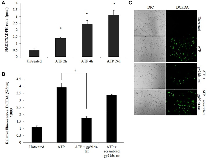 NOX2 is a major contributor to ATP-induced ROS in GECs. (A) Measure of NADP/NADPH ratio in ATP (3 mM) treated primary GEC lysates at 2, 4, and 24 h. Increased NADP/NADPH ratio corresponds to more consumed NADPH. N = 3, * p