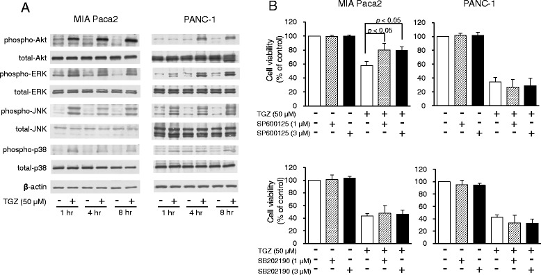 Involvement of Akt and MAPK signaling in TGZ-induced cell death. a Akt and MAPK protein expression. Cells (1.75 × 10 6 ) were pre-cultured for 24 h in 100-mm dishes and treated with TGZ (50 μM) for various durations. Protein (15 μg) was analyzed by western blot for expression of Akt, ERK, JNK, p38, and the phosphorylated forms of each protein. β-Actin was used as a loading control. b Effects of a JNK inhibitor (SP600125) and a p38 inhibitor (SB202190) on TGZ-induced cell death. Cells were pre-cultured for 24 h at density of 1 × 10 4 cells/well in 96-well plates and then exposed to TGZ (50 μM) in the presence or absence of SP600125 or SB202190 (1 and 3 μM, respectively) for 24 h. Cell viability was assessed by fluorescence assay and is expressed as mean + SD ( n = 3–5). Statistical significance was assessed by Dunnett's test (TGZ vs. TGZ + inhibitors, n.s., not significant). MAPK, mitogen-activated protein kinase; ERK, extracellular signal-regulated kinase; JNK, c-Jun N-terminal kinase; TGZ, troglitazone
